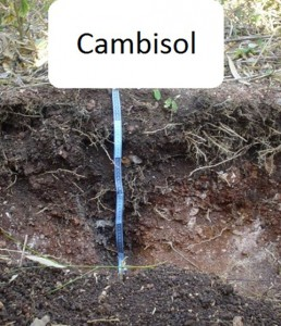 Cambisol